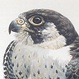 Lanner Falcon  |  h.50cm w.40cm  |  Watercolour on arches
