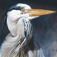 Grey Heron  |  h.30.5cm w.25.5cm  |  Oil on board