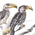 Yellow-billed Hornbills  |  h.23cm w.33cm  |  Watercolour on arches